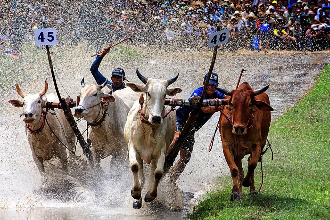 Kết quả hình ảnh cho đua bò an giang