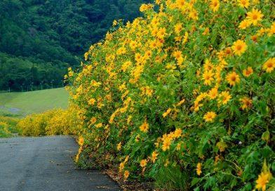 Rực rỡ sắc vàng dã quỳ ở phố núi Đà Lạt