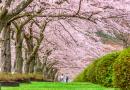 Năm lời khuyên dành cho khách du lịch khi ngắm hoa anh đào nở